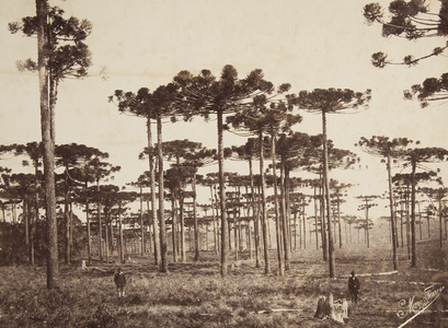 Giant Pines, Paraná State