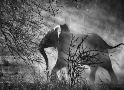 Kafue National Park, Zambia. [Elephant against light]
