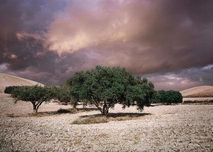 Olive Trees, Giarratana, Sicily, Italy
