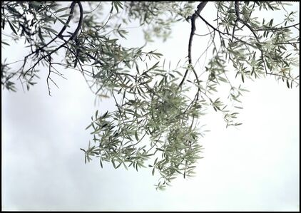 Olive Trees, Looking Up
