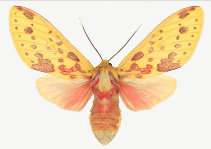 Symphlebia Lophocampoides