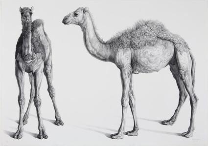 Dromedarios (Camels)