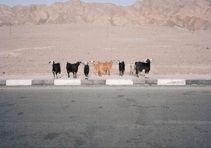 Sinai (goats)