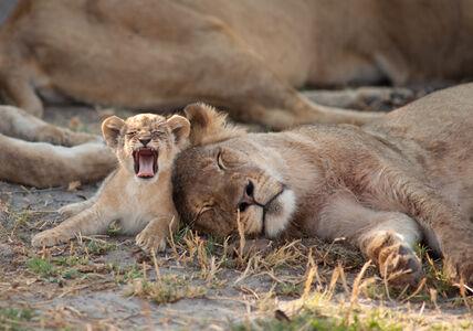 Little roar