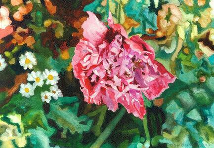 Violet Pink Garden Poppy