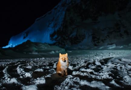 Red Fox at Night