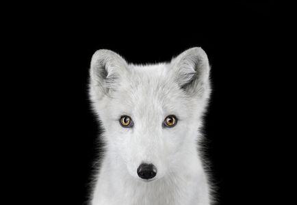 Arctic Fox #1, Los Angeles, CA