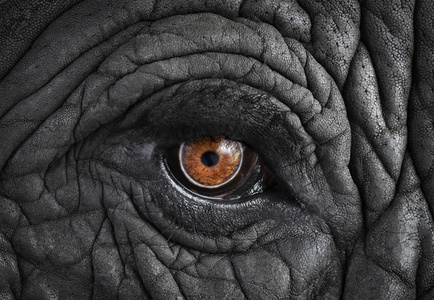 African Elephant #11, Monterey, CA