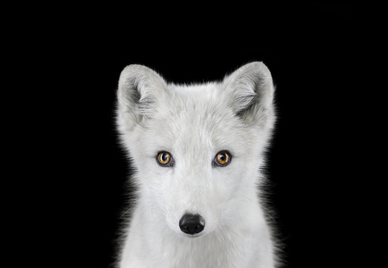 Arctic Fox #1, Los Angeles, CA