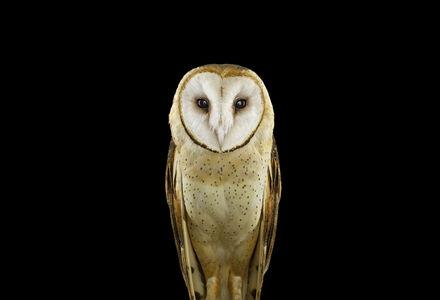 Barn Owl #1, St. Louis, MO