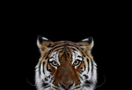 Tiger #6, Los Angeles, CA