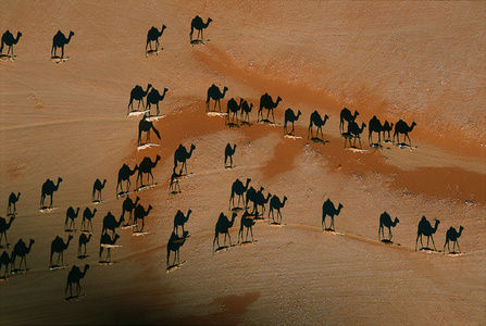 Camel caravan, Wadi Mitan, Oman