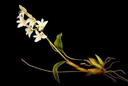 END74 Pholidota sigmatochilus