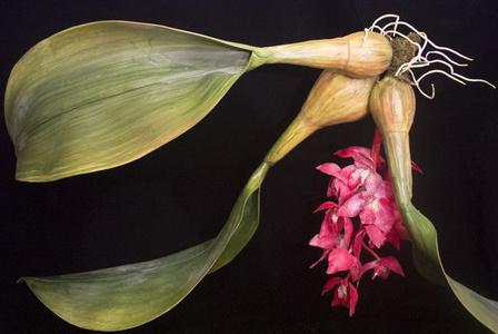 END17 Bulbophyllum retrorsum
