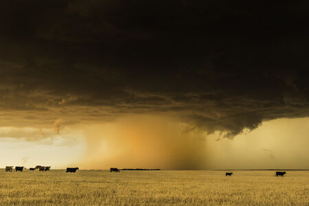 Supercell with Cows in Wheatfield, Kansas