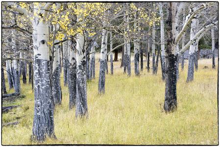 Colorado Autumn Aspens #1