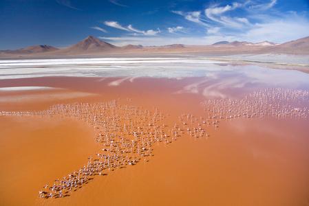 James Flamingos, Laguna Colorada, Bolivia