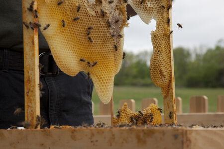 Untitled (Bees Making Honey)