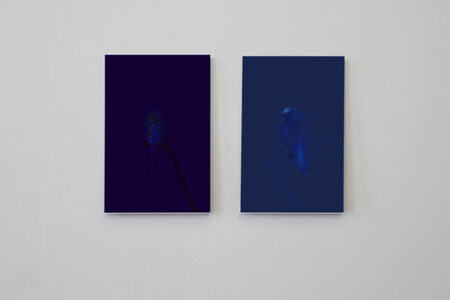 Budgie/ UV (left panel), Blue Tit/UV (right panel), From theseries Watermarks