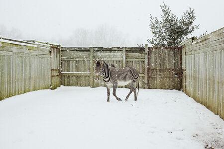 Elvis the Zebra, Cumberland, Ohio
