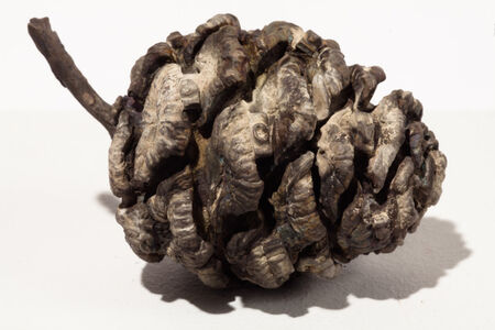 Untitled (Pine Cone)