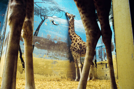 Giraffe, Paris (from the series The Glass Between Us)