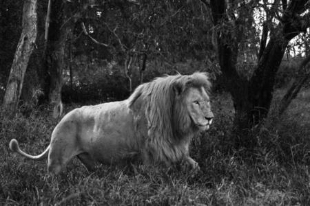 Lion, Tanzania, Africa