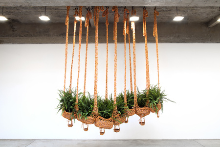 Flying fern, cater-boa-pillar, cleaning air, cleaning earth