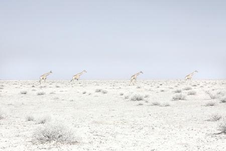 Four Giraffes, Namibia
