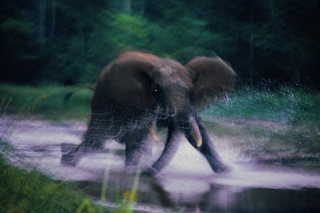 Forest Elephant, Central African Republic