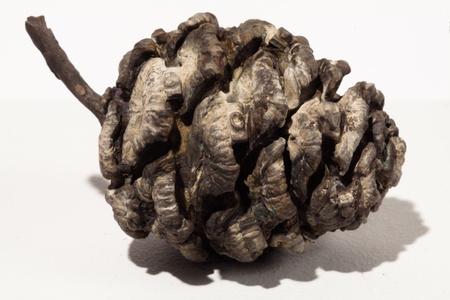 Untitled (Pine Cone)
