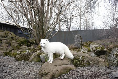 Arctic Fox, ReykjaviÍk