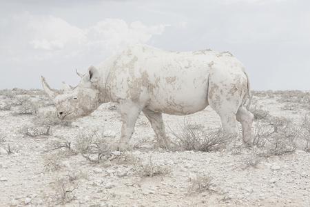 White Rhino, Namibia