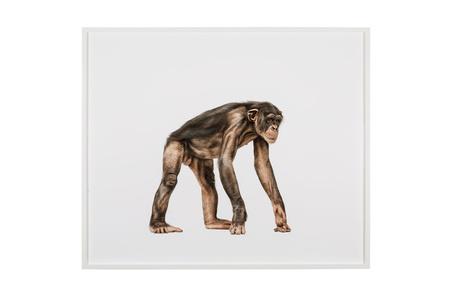 "Nº 46 ""Chimpanzee 282"""