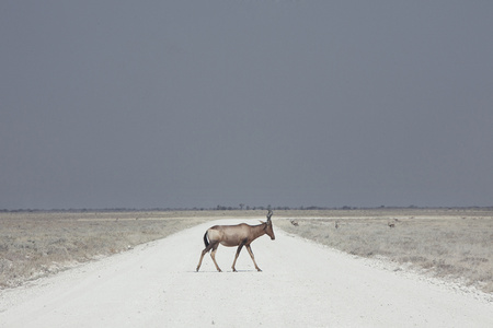Antelope, Namibia