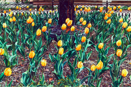 Yellow Tulip Bed
