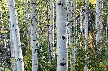 Aspen Trees No. 15