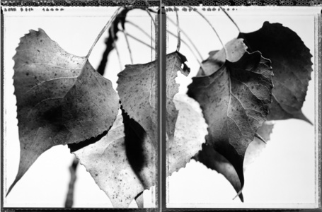 Cottonwood Diptych