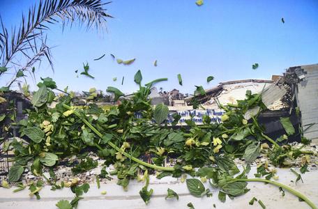 Taraxcum officinake i.a. - Gaza, Palestina