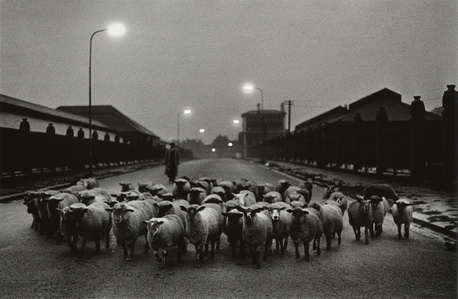 Sheep going to the Slaughter, Early Morning, Near the Caledonian Road, London