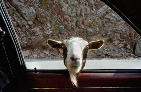 Agrafa (goat)