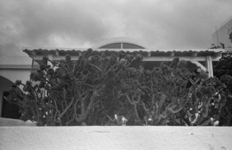 Aeonium arboreum, Santorini