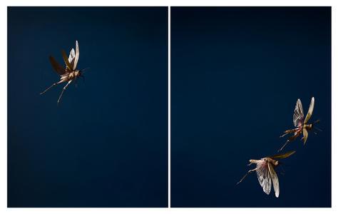 Three Locusts (from the series Testimony)