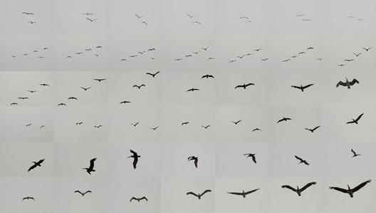 Pelicans, Point Lobos, California