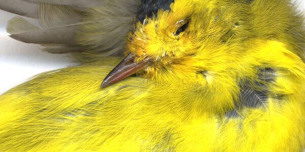 Canary II