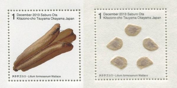 Seed Plant / Lilium Formosanum Wallace