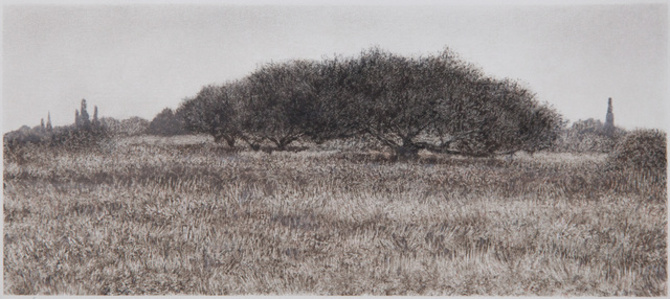 Olive Trees in Field