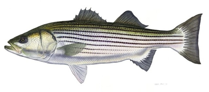 Trophy Striped Bass