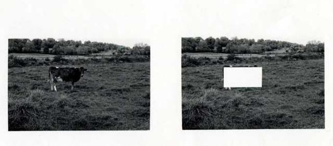 Cow Alone in a Empty Field