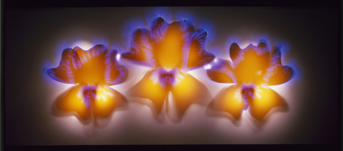 Orange Clockflower, 21/25